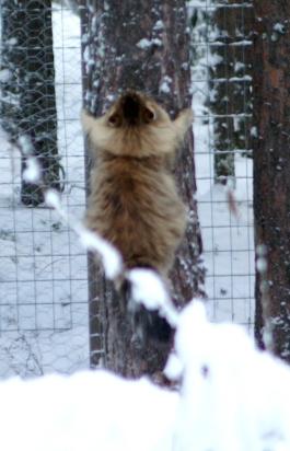 Vellu lempipuuhassaan, eli halaamassa mäntyä.