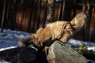 Vellu tasapainoilee kivillä